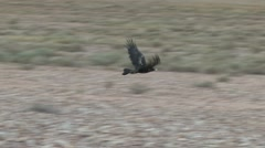 Outback Eagle Flying Stock Footage