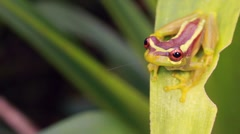 Broad Headed Treefrog Osteocephalus mutabor on a bromeliad leaf Stock Footage