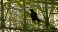 Stock Video Footage of Black Bird on Branch