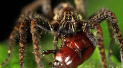 Wandering spider (Family Ctenidae)  feeding on a beetle Stock Footage