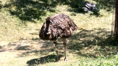 Emus in the wild Stock Footage