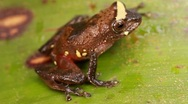 Stock Video Footage of Rio Coca Robber Frog (Pristimantis quaquaversus)