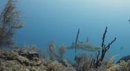 Caribbean Reef Sharks Cuba Stock Footage