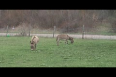 Donkeys grazing Stock Footage