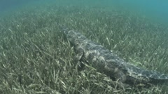 American Crocodile in Cuba Stock Footage