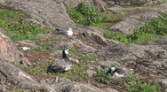 Wild duck and their nest Stock Footage
