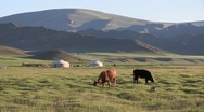 Stock Video Footage of Mongolia: Cows graze in front of Gers