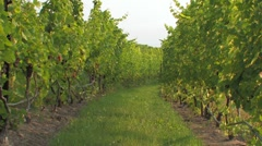 Zoom out row of grapes at vinyard Stock Footage