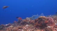 Stock Video Footage of Cowfish swimming