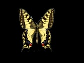Stock Video Footage of Butterfly Loop #14 Top View