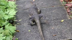 Komodo dragon on footpath Stock Footage