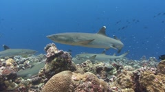 Large number of Reef sharks hunt over coral reef Stock Footage