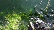 Mussels and seaweeds Stock Footage