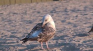 Stock Video Footage of Seagull Close up