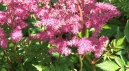 Stock Video Footage of Bumblebee On Flowers 2