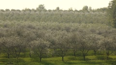 Wide shot beautiful cherry orchard Stock Footage