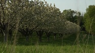 Stock Video Footage of Pan of cherry orchard in full bloom