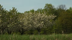 Cherry Tree in Full Bloom Stock Footage