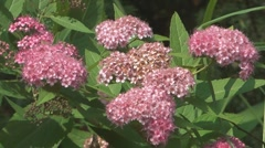 Bush of a blossoming pink spiraea. Stock Footage