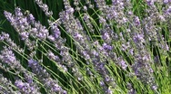 Purple lavender  1035 Stock Footage