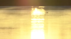 Bird on the Water at Sunrise Stock Footage