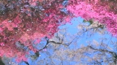 Cherry blossoms and rhododendron reflected in the river. Stock Footage