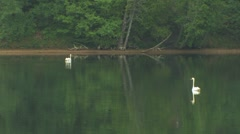 Swans on a river - stock footage