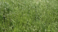 The grass in the wind - stock footage