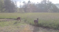 Stock Video Footage of Deer in Cades Cove