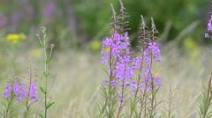 Purple wildflowers Stock Footage