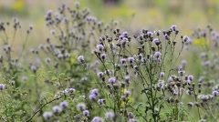 Thistles in a wildflower meadow Stock Footage