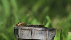 Bee drinking water close up - stock footage