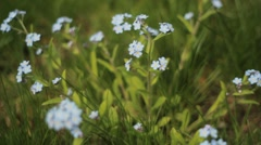 Forget-me-nots. Stock Footage