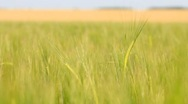 Stock Video Footage of Panning of green rye in the breeze
