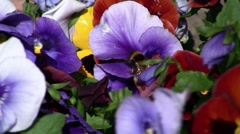 Bumble Bee On Pansy 01 Stock Footage