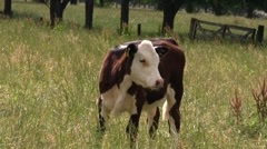 Brown Calf 01 Stock Footage