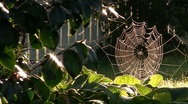 Stock Video Footage of SpiderWeb 03