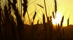 "harvesting wheat field sunset ( series 1 version 7 )   "" Think Different "" - stock footage"