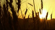 "Stock Video Footage of harvesting wheat field sunset ( series 1 version 7 )   "" Think Different """