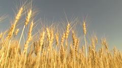 "Harvesting wheat field   "" Think Different "" Stock Footage"