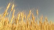 "Stock Video Footage of harvesting wheat field   "" Think Different """
