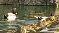 Swim duck Stock Footage