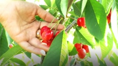 Cherry tree collection Stock Footage