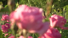 Rose garden flower focus blurry Stock Footage
