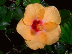 Stock Video Footage of Yellow Hibiscus Flower Blooming in Time-lapse – 640x480