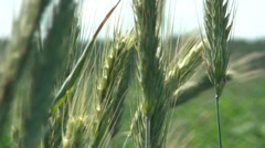 Wheat In The Field 2 Stock Footage