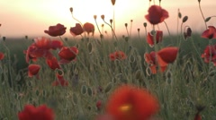 Field of red poppies at sunset on wind Stock Footage