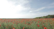 Stock Video Footage of Panorama of the field, strewn with blossoming red poppies