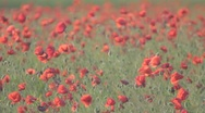 Stock Video Footage of Bulbs of opened red poppies swaying on the wind