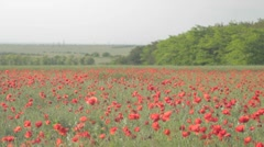 Field of red poppies and rising above far away meadow - stock footage
